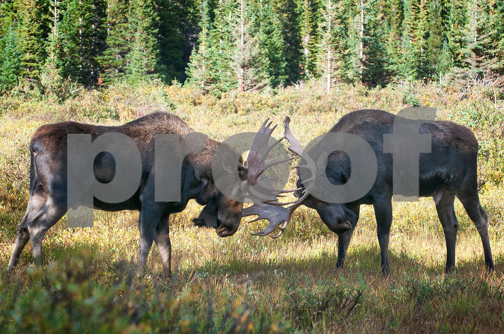 BRAINARD_LAKE_MOOSE-8295