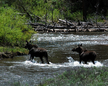 Moose in Colorado