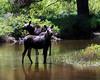 Moose 5955 al sh300