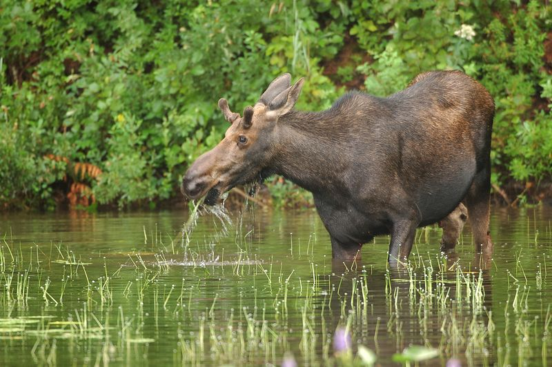 Young bull moose feeding in pond in Baxter State Park