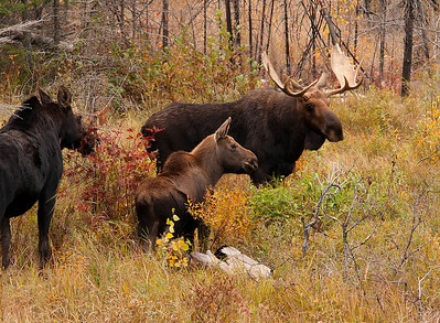 Moose Family 003