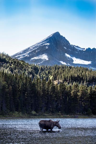 Moose  near Many Glacier in Glacier National Park