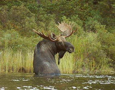 Moose 41