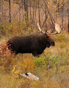 Bull Moose 005