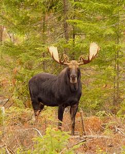 Bull Moose 2014_001_PSundberg