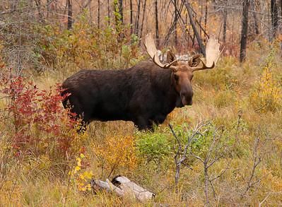Bull Moose 007