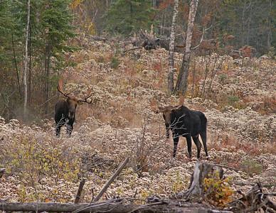 Moose 44