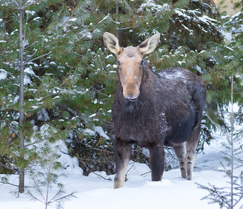 Algonquin Park Moose-29