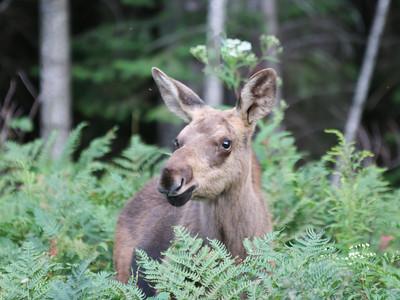 Algonquin Park Moose-4