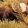 The bull moose will drop his antlers after mating season each winter.  New antlers will sprout in the spring.  Antlers grow rapidly within three to five months.  This fellow has a large rack.