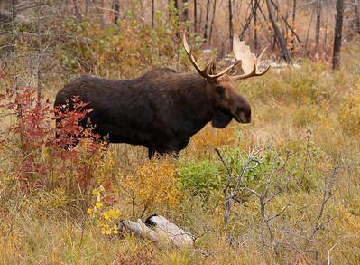 Bull Moose 001