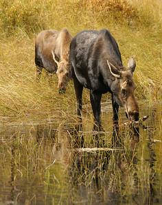 Moose 23