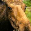 Yes, a face only a Mother could love.  Well not exactly, I think moose are beautiful, cute as a button.  Look at those eyes and this incredible eye lashes.