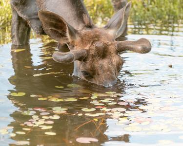 Algonquin Park Moose-6