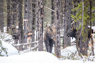 Moose Family