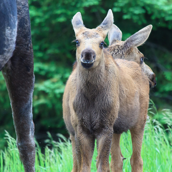 Baby Mooses<br /> <br /> Gunflint Trail<br /> Grand Marais, Minnesota <br /> (5II2-27847)