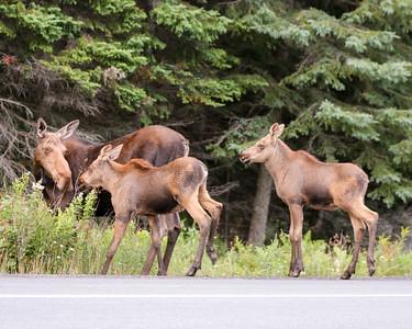 Algonquin Park Moose-9