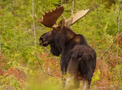 Bull Moose 2014_015_PSundberg