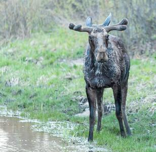 Algonquin Park Moose-25