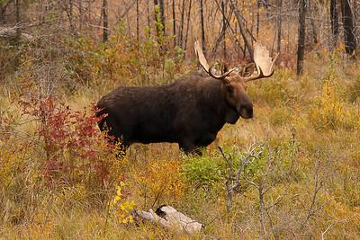 Bull Moose 004