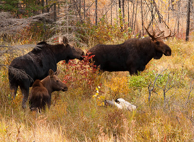Moose Family 002