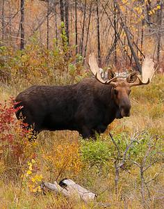 Bull Moose 008