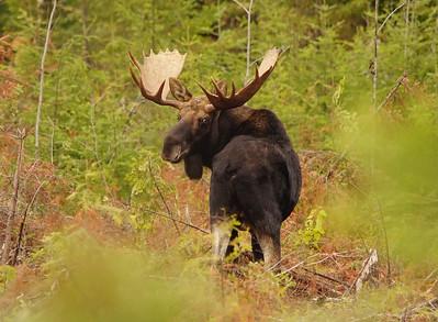 Bull Moose 2014_014_PSundberg