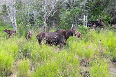Algonquin Park Moose-5
