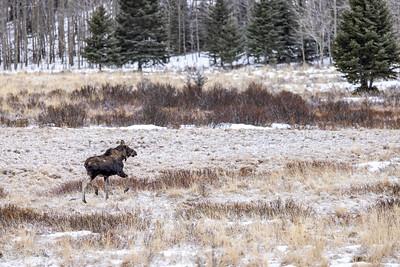 Bull Moose on the Run