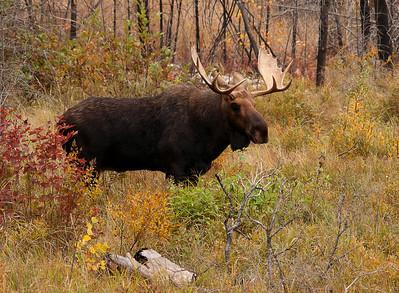 Bull Moose 010