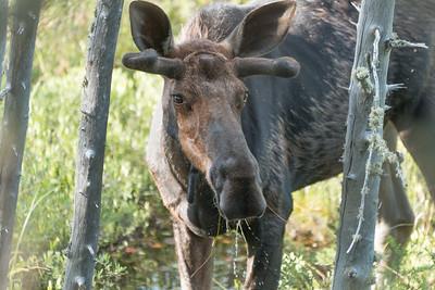 Algonquin Park Moose-16