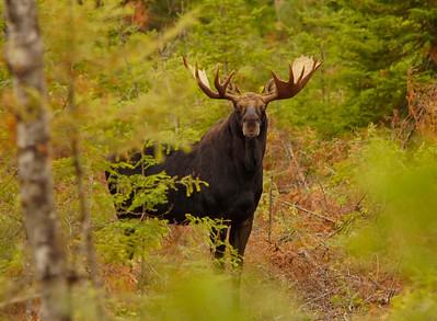 Bull Moose 2014_013_PSundberg