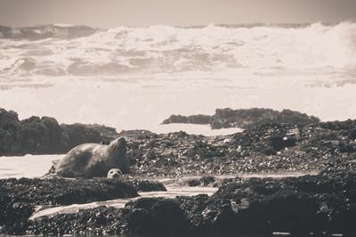 Seals at Moss Beach