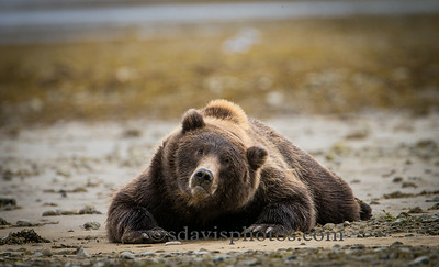 Brown Bear http://www.katmai-wilderness.com/