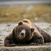 "Brown Bear<br />  <a href=""http://www.katmai-wilderness.com/"">http://www.katmai-wilderness.com/</a>"