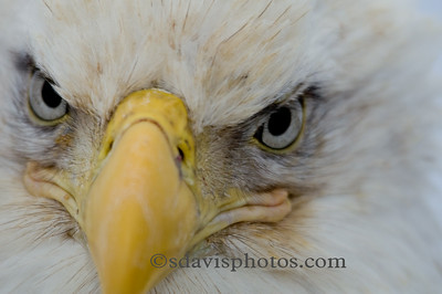 Eagle http://www.katmai-wilderness.com/