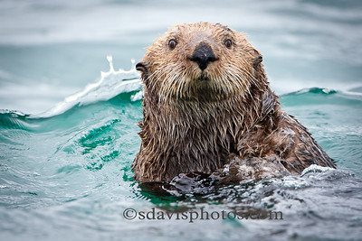 Sea Otter http://www.katmai-wilderness.com/