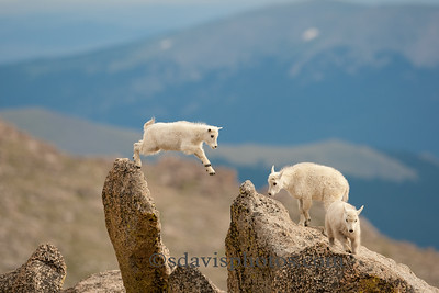 Mountain Goats http://www.katmai-wilderness.com/