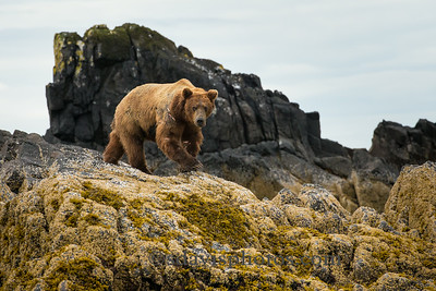 Grizzly Bear (brown bear) http://www.katmai-wilderness.com/