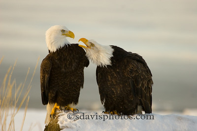 Bald Eagles http://www.katmai-wilderness.com/