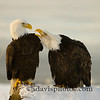 "Bald Eagles<br />  <a href=""http://www.katmai-wilderness.com/"">http://www.katmai-wilderness.com/</a>"