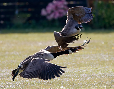 Squabbling canada geese