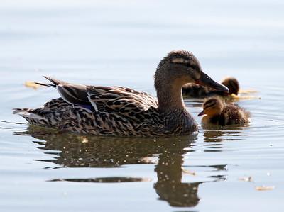 Mallard & duckling
