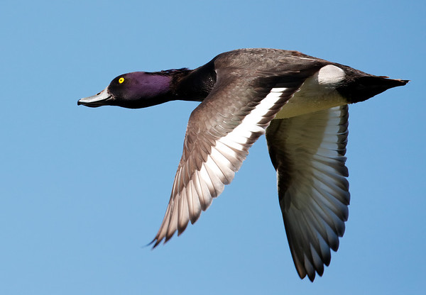 Drake tufted duck