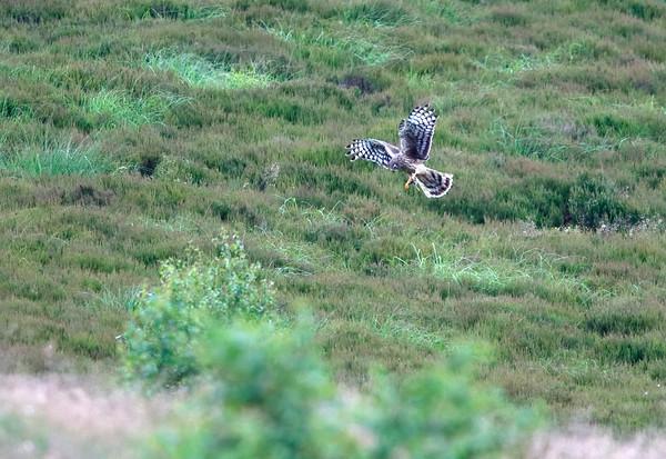 Female hen harrier bringing prey in to the nest