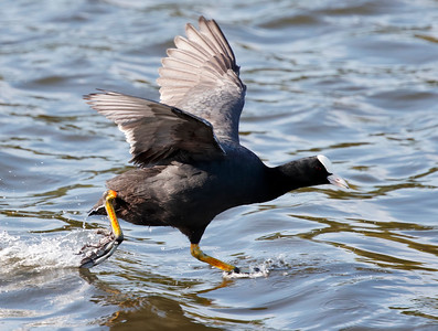 Coot in a hurry!