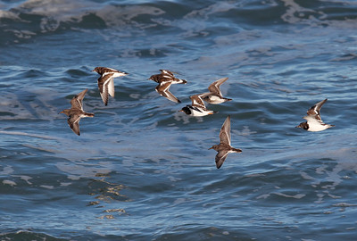 Purple sandpipers & turnstones
