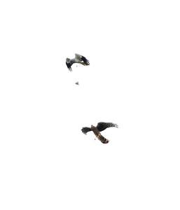 Hen harriers doing a food pass