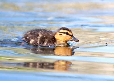 Mallard duckling eyeing up breakfast!