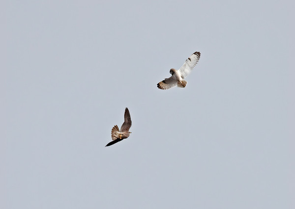 Peregrine & short eared owl